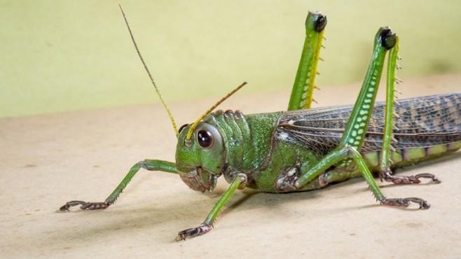 grasshopper locust